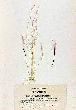 Erythrotrichia carnea Crouan.jpg