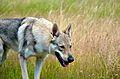 Eska der Tschechoslowakische Wolfhund auf der pirsch.jpg