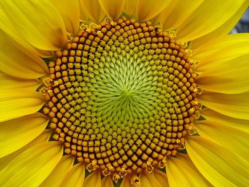 Espiral de semillas de Girasol