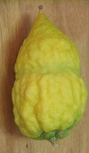 Etrog - An Israeli etrog, with pitam and gartel