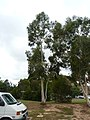 Eucalyptus mannifera tree 2.jpg