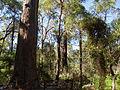 Eucalyptus marginata 3.jpg