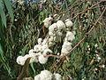 Eucalyptus radiata flowers 1.jpg