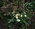 Euonymus alatus and primrose - Flickr - peganum.jpg