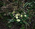 Euonymus alatus and primrose - Flickr - peganum.jpg