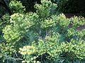 Euphorbia Battersea Park.jpg