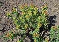 Euphorbia epithymoides kz02.jpg