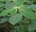 Euphorbia heterophylla (Painted Euphorbia, Desert Poinsettia) near Talakona forest, AP W IMG 8122.jpg