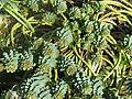 Euphorbia myrsinites reddish form (12744969975).jpg