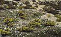 Euphorbia rigida habitat.jpg