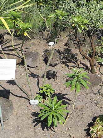 Euphorbia stygiana - Image: Euphorbia stygiana Botanischer Garten, Frankfurt am Main DSC03147