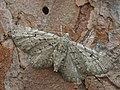 Eupithecia intricata - Freyer's pug - Цветочная пяденица можжевеловая (40050145355).jpg