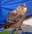 Eurasian eagle-owl (Bubo bubo) - Flickr - gailhampshire.jpg