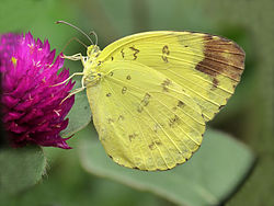 Eurema blanda on flower by kadavoor.JPG