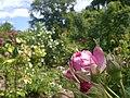 Europa-Rosarium-Rose-2.jpg