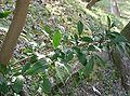 Eurya japonica2.jpg