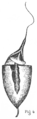 Eustichium Norvegicum - Fig-4.png