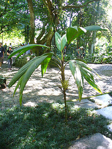 Euterpe luminosa (Scott Zona) 001.jpg