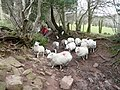 Ewes and lambs 1 - geograph.org.uk - 738055.jpg