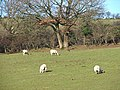 Ewes at the Fron - geograph.org.uk - 639902.jpg