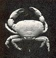 FMIB 43363 Pseudozius inornatus, male, Kallua.jpeg