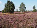 Faßberg Heideblüte10.JPG