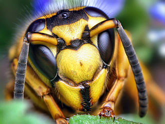 Yellowjacket - Face of a southern yellowjacket (Vespula squamosa)