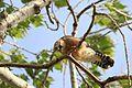 Falco vespertinus Falco cuculo.jpg