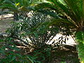 Fale - Giardini Botanici Hanbury in Ventimiglia - 675.jpg