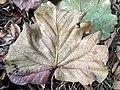Fallen leaf 01.jpg