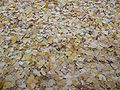 Fallen leaves of Ginkgo.jpg