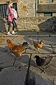 Farmyard chickens, Beamish - geograph.org.uk - 2666299.jpg