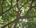 Fawn-breasted Bowerbird. Chlamydera cerviniventris (48623370588).jpg