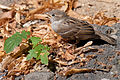 Female House Sparrow Berlin 2010.jpg