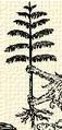 Fenyőfa (heraldika).PNG