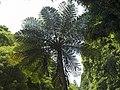 Fern tree in Mata Jardim José do Canto 5.jpg