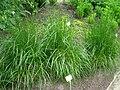 Festuca arundinacea - Berlin Botanical Garden - IMG 8655.JPG