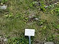 Festuca valesiaca - Botanical Garden, University of Frankfurt - DSC02651.JPG