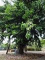 Ficus Elastica, La Romana, 331.jpg