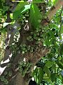 Ficus aspera fruits.jpg