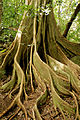 Ficus aurea (butresses).jpg