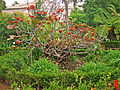 Ficus auriculata 01.jpg
