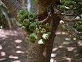 Ficus auriculata Lour. (41317135491).jpg