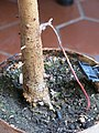 Ficus benghalensis bonsai D2008 aerial root.jpg