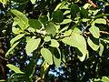 Ficus natalensis, loof, a, Pretoria.jpg