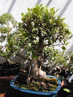 Ficus Ginseng Advice For Watering Ficus Ginseng