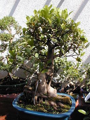 Ficus Retusa Wikip 233 Dia