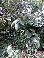 Ficustinctoriakerala 03.jpg
