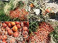 Fig6-Enormous-tomato-losses-caused-by-Tuta-absoluta-in-Ngabobo-village.jpg