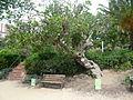 Figuera del parc de les Aigües P1500825.jpg